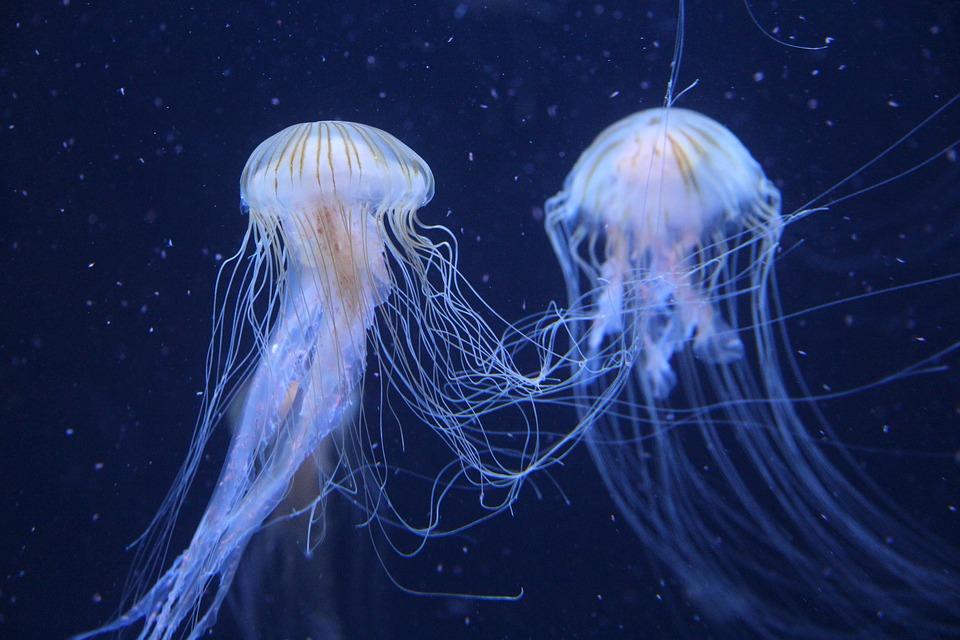 jellyfish-2427426_960_720